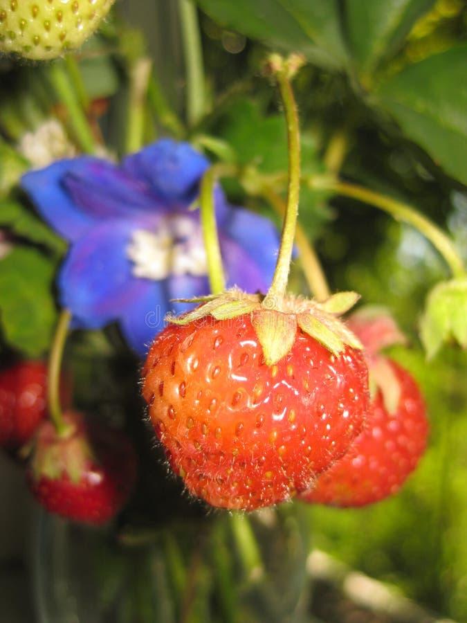 Dojrzały truskawkowy zakończenie na błękitnym kwiatu tle fotografia stock