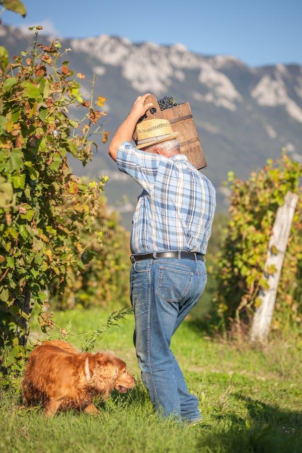 Dojrzały winegrower zbiera czarnych winogrona zdjęcie royalty free