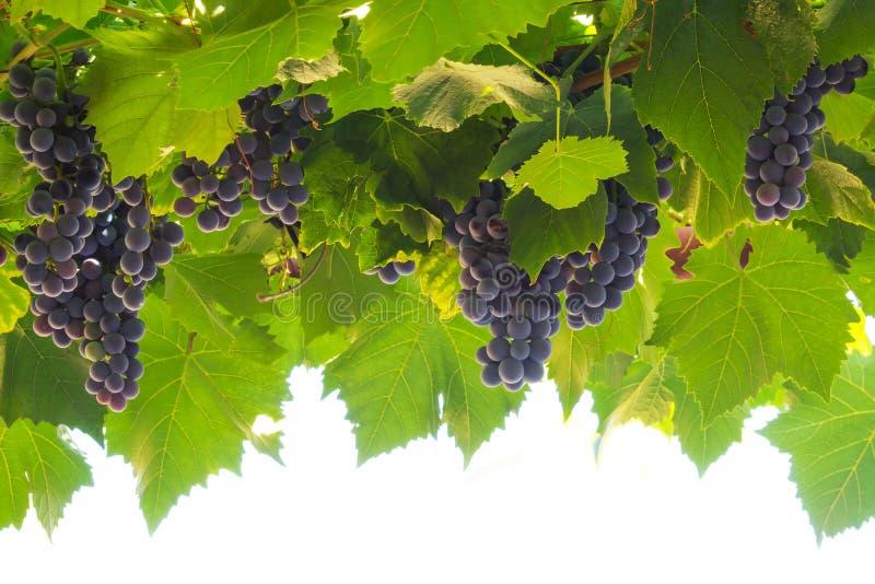 dojrzałych winogron, zdjęcie stock