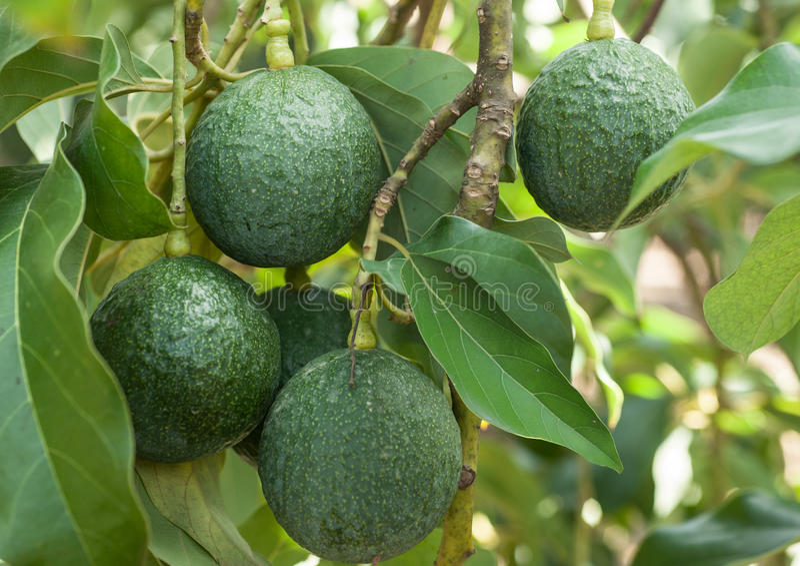 Dojrzali świezi avocados z liśćmi r na drzewie obraz royalty free