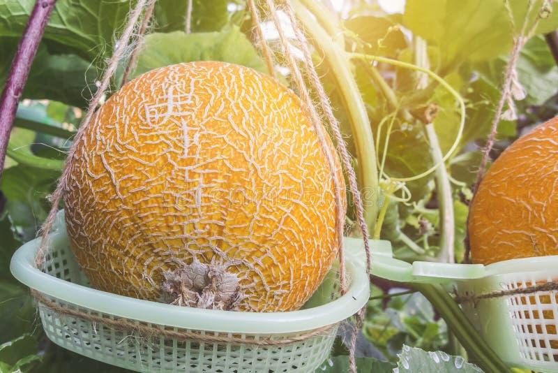 Dojrzali żółci melony r w szklarni fotografia royalty free