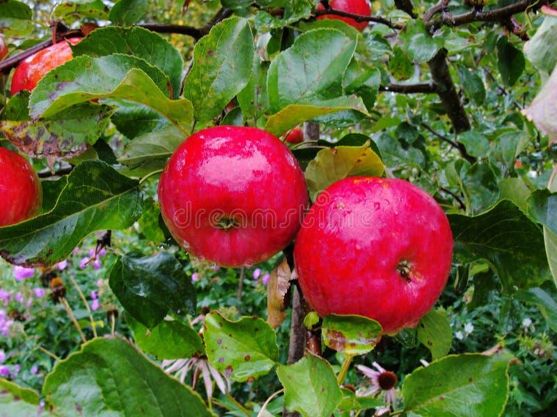 Dojrzali czerwoni jabłka na gałęziastej jabłoni wśród bujny zieleni ulistnienia, fotografia stock
