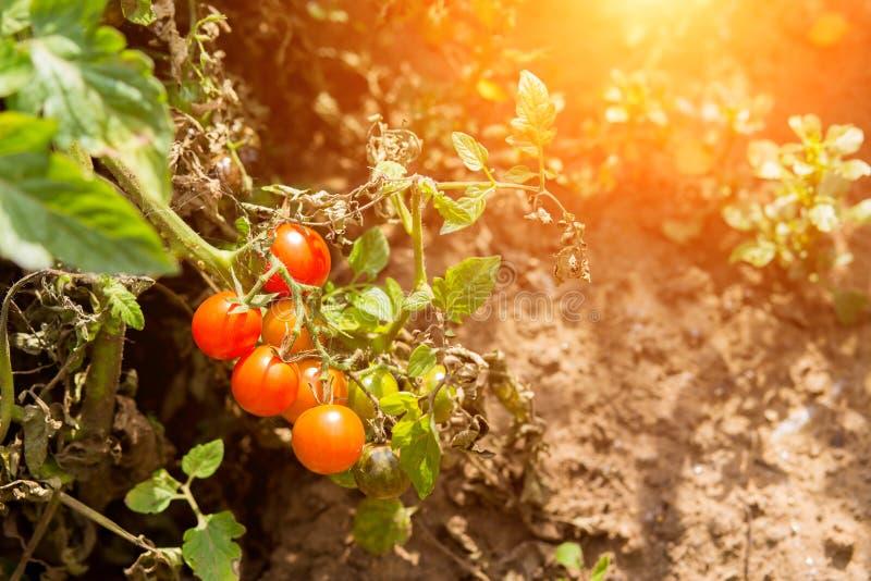 Dojrzali czerwoni pomidory w jesieni obraz stock