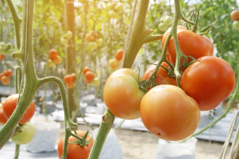 Dojrzali Czerwoni pomidory Wiesza na winogradzie w Organicznie gospodarstwie rolnym obraz stock