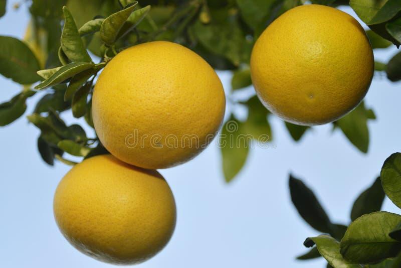 Dojrzali grapefruits przy drzewem fotografia stock