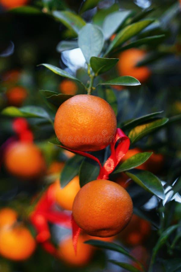 Dojrzali i świezi tangerines z czerwonymi faborkami na drzewie w ogródzie obraz stock