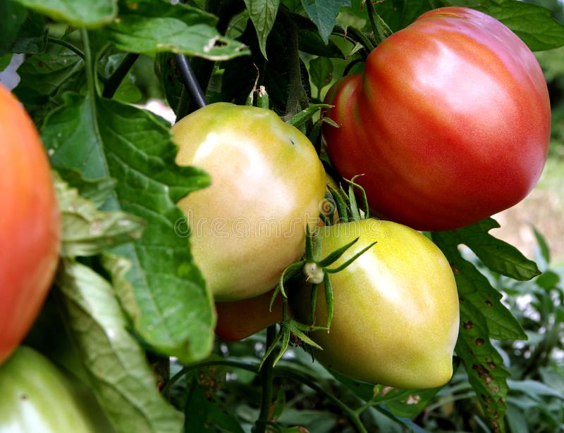 Dojrzali i niedojrzali pomidory na krzaku fotografia stock