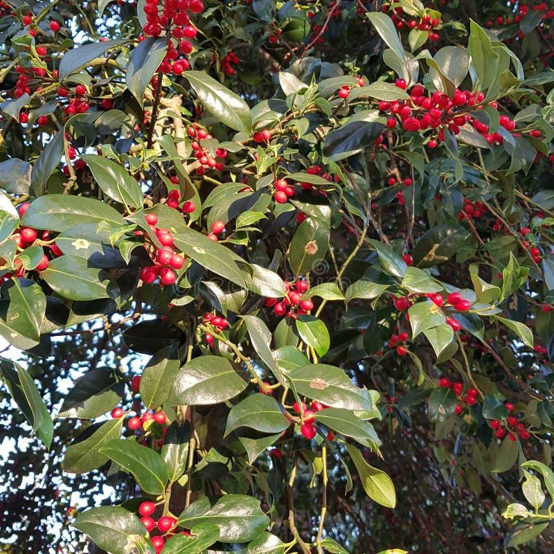 Dojrzali pestczaki Japoński cornel, Cornus officinalis w jesieni fotografia stock
