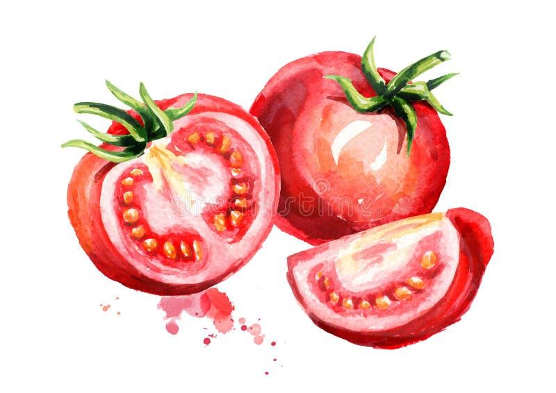 Dojrzali pomidory ilustracyjni Akwarela ręka rysujący skład, odizolowywający na białym tle ilustracja wektor