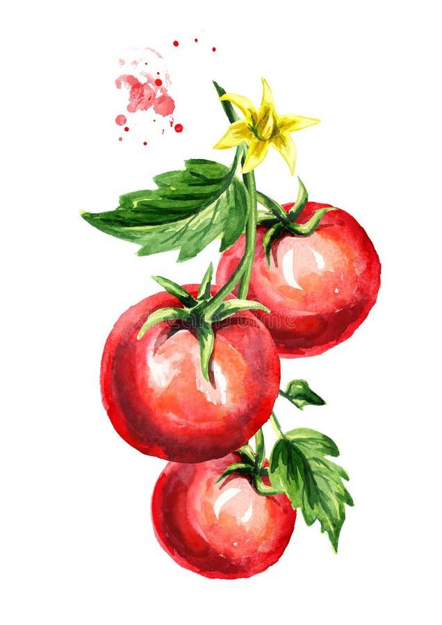 Dojrzali pomidory na gałąź z liśćmi i kwiatem Akwareli ręka rysująca pionowo ilustracja, odizolowywająca na białym tle ilustracji