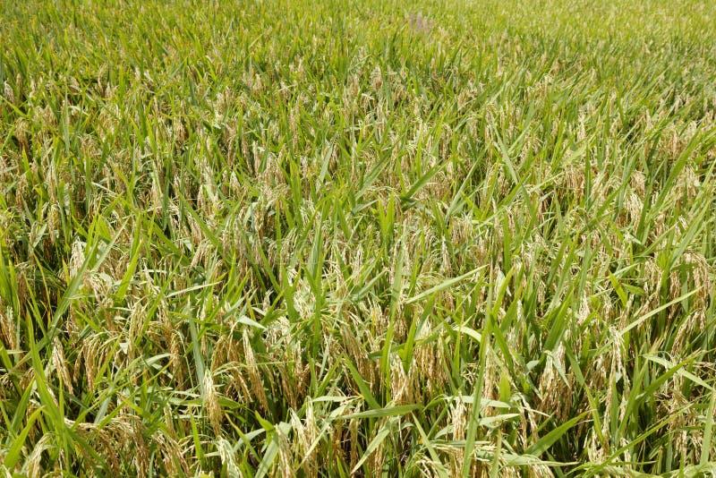 Dojrzali ryż, adobe rgb zdjęcia royalty free