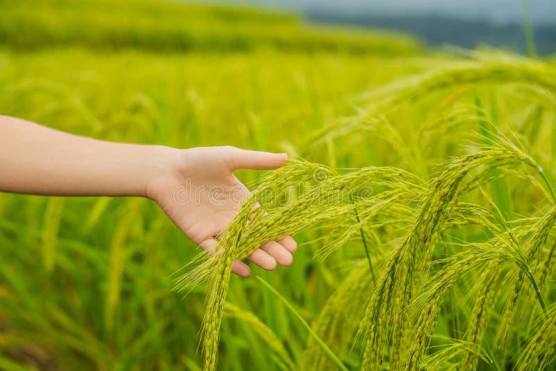 Dojrzali ucho ryż w kobiety ` s ręce Produkty od ryżowego pojęcia Ryżowi płatki, mąka, napój, ryżowa sztuka dla sztuki ajerówka zdjęcie royalty free