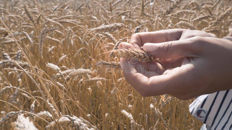 Dojrzali wheats, zbożowi wheats sprawdzają dla dojrzałości obrazy stock