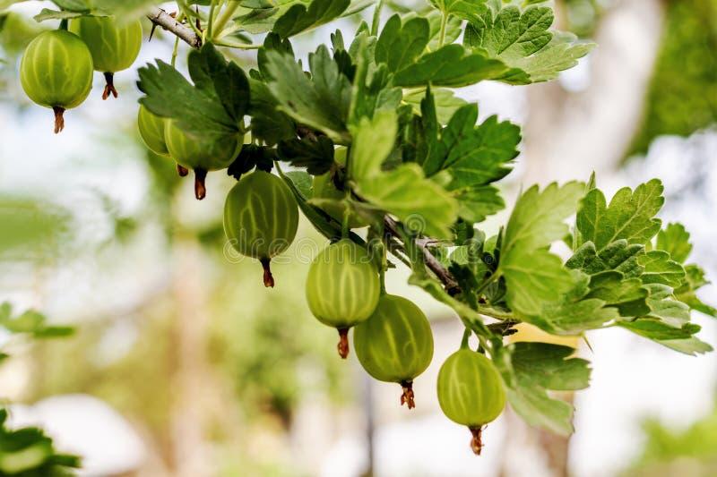 Dojrzali ?wiezi zieleni agresty w ogr?dzie Narastający organicznie jagody zbliżenie na gałąź agrestowy krzak zdjęcia royalty free