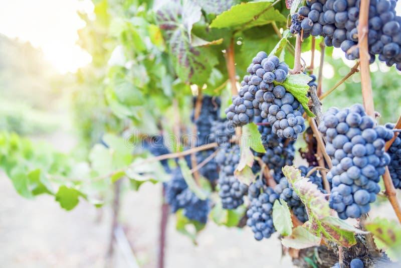 Dojrzali winogrona w winnicy przy zmierzchem zdjęcie royalty free