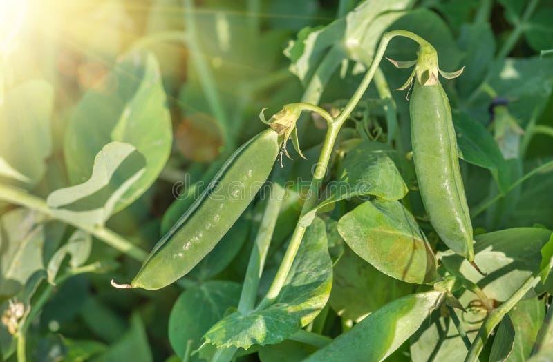 Dojrzali zieleni grochowi strąki, rolnictwa tło zdjęcia royalty free