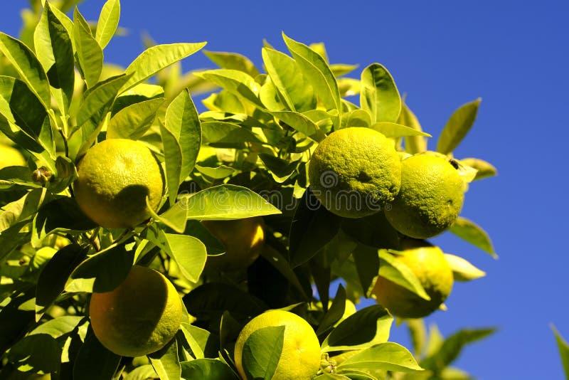 Dojrzenie pomarańcze na drzewie obraz royalty free