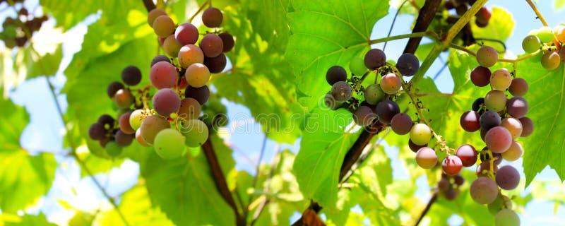 Dojrzenie winogrona Zieleni winogrona na niebieskim niebie fotografia stock