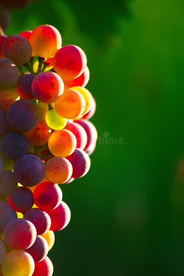 Dojrzewać Błękitnych win winogrona obraz royalty free