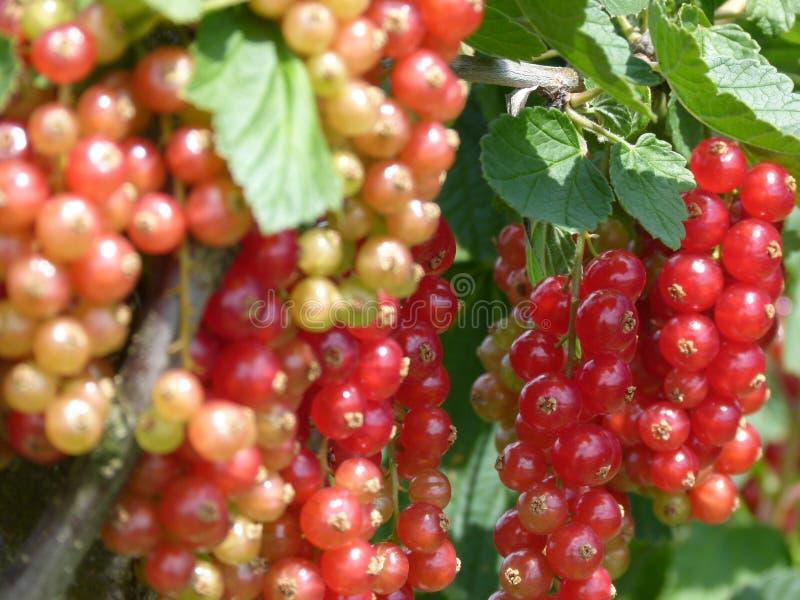 Dojrzewać czerwonych rodzynki z zielonymi liśćmi na krzaku obraz stock