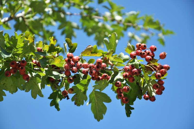Dojrzewać głogowe jagody zdjęcie royalty free