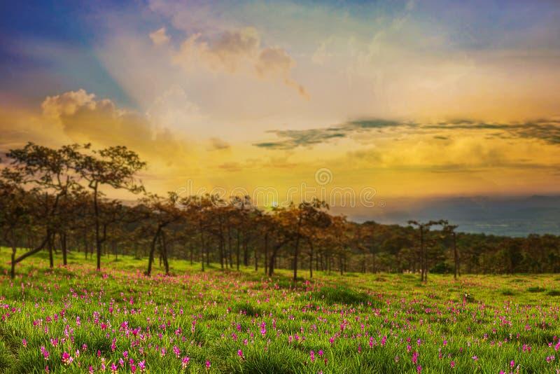 Dok krachiao或泰国郁金香在佐井皮带国立公园猜也奔府泰国 库存照片