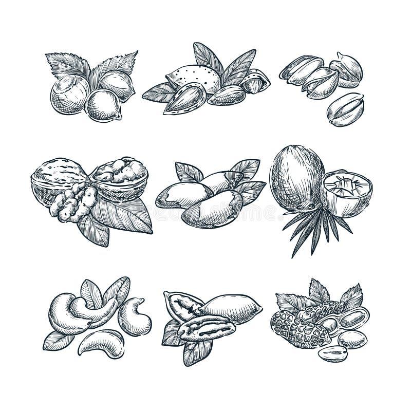 Dokrętki nakreślenia wektorowa ilustracja Superfood łasowania ręka rysujący set Orzech włoski, migdały, hazelnuts, koks, nerkodrz ilustracji