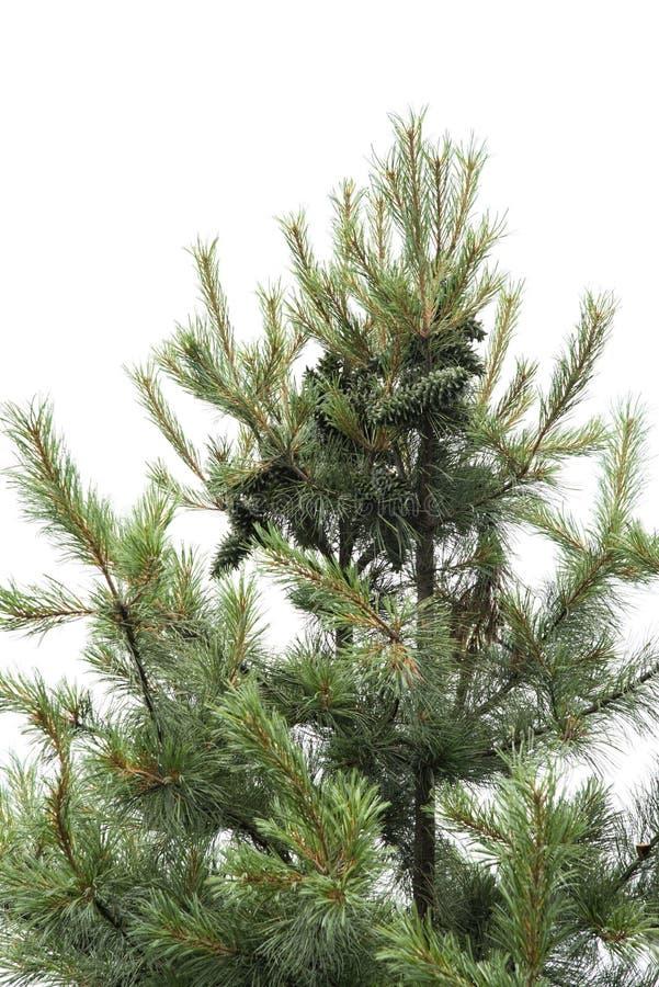 Dokrętki sosna na wierzchołku drzewo zdjęcia stock