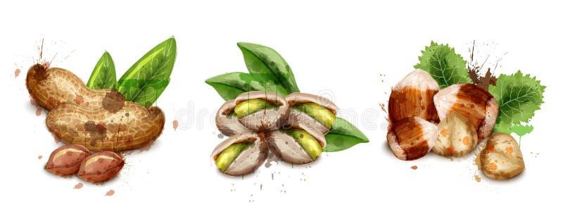 Dokrętki ustawiają akwarela wektor Pistaci, hazelnut i arachidów ilustracje, ilustracji