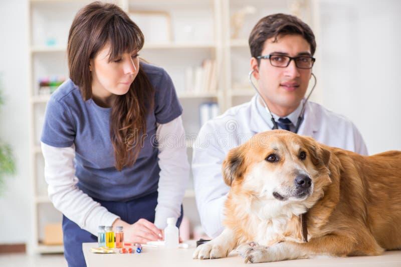 Doktor och assistent som kontrollerar upp golden retrieverhund i veterinären cli arkivfoto