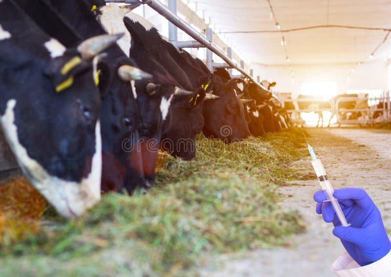 Doktor som rymmer en injektionsspruta mot bakgrunden av kor i ladugårdbegreppet av tillväxthormonet och antibiotikummar i nötkött royaltyfria foton