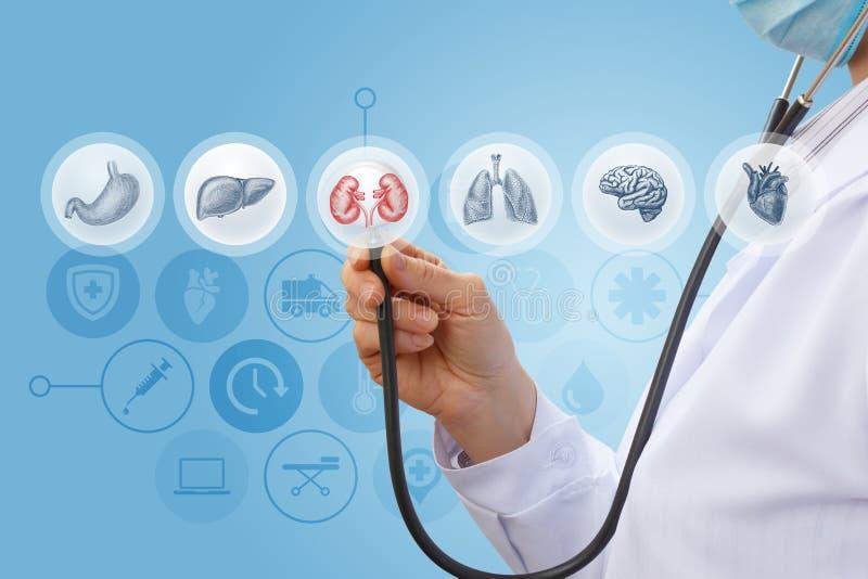 Doktor wählt für die Diagnose der menschlichen Niere vor lizenzfreie stockbilder