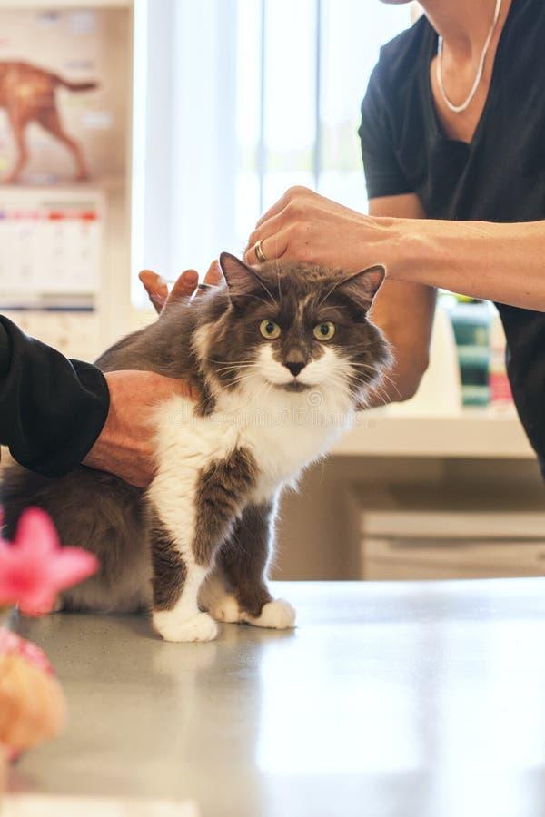 Doktorn injicerar en katt i en veterinär- klinik fotografering för bildbyråer