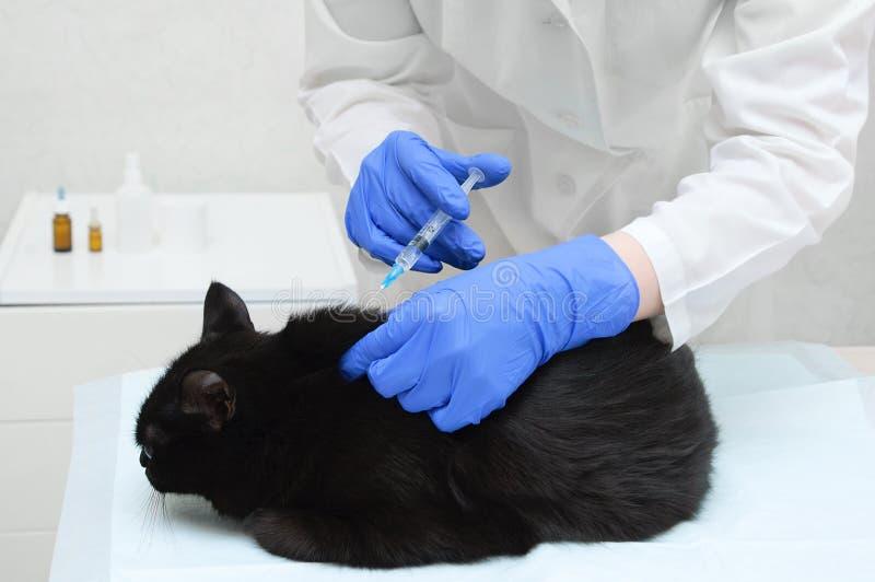 Doktorsveterinären i det vita laget och handskar gör en injektion av en svart katt i doktorskontoret fotografering för bildbyråer