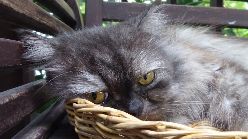 Dokuczający grymaśny śpiący Perski kot w bambusowym koszu zdjęcie royalty free