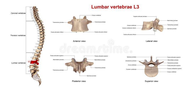 Dolędźwiowi kręgosłupy L3 ilustracji