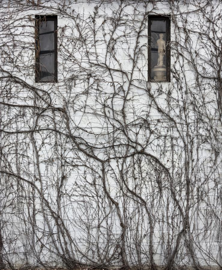 Dold byggnadsvägg för vinranka i färg arkivfoton