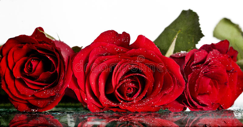 Dold intelligensdagg för röda rosor fotografering för bildbyråer