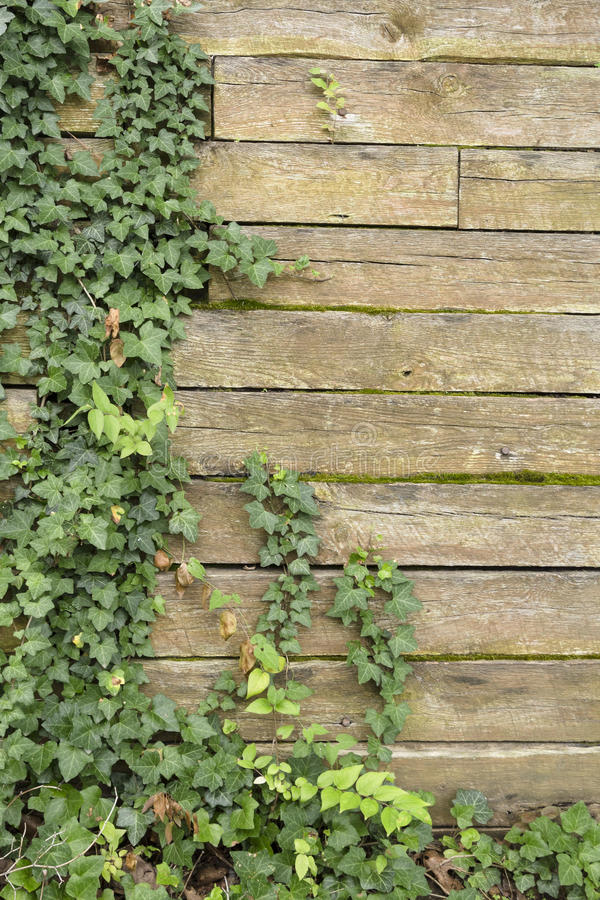 Dold trävägg för murgröna royaltyfri bild