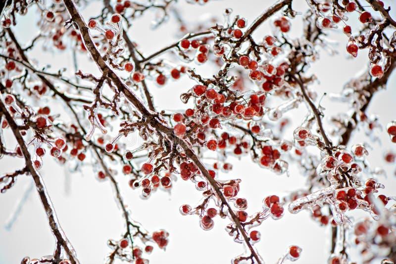 Dolda krabbaäpplen för djupfryst is på ett träd royaltyfria foton