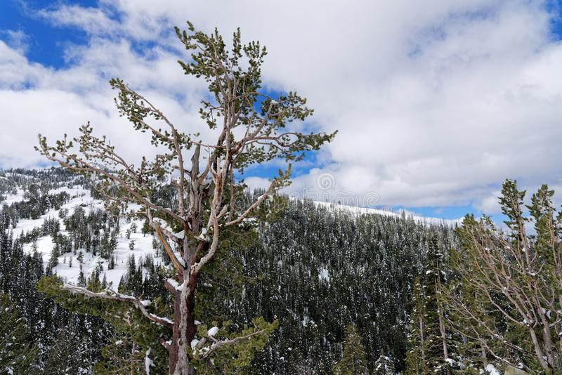 Dolda träd för snö i den Yellowstone nationalparken arkivbild