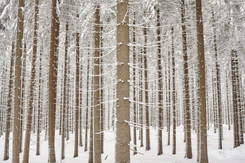 Dolda trädstammar för snö, naturlig bakgrund royaltyfria foton
