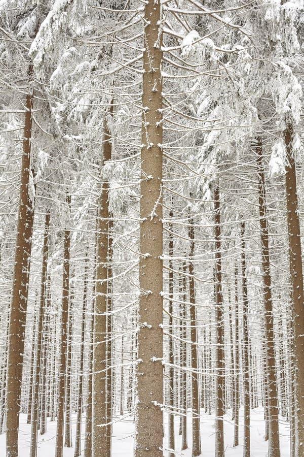 Dolda trädstammar för snö, naturlig bakgrund arkivbild