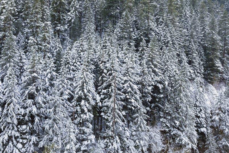 Dolda vintergröna granträd för snö under vinter arkivbild