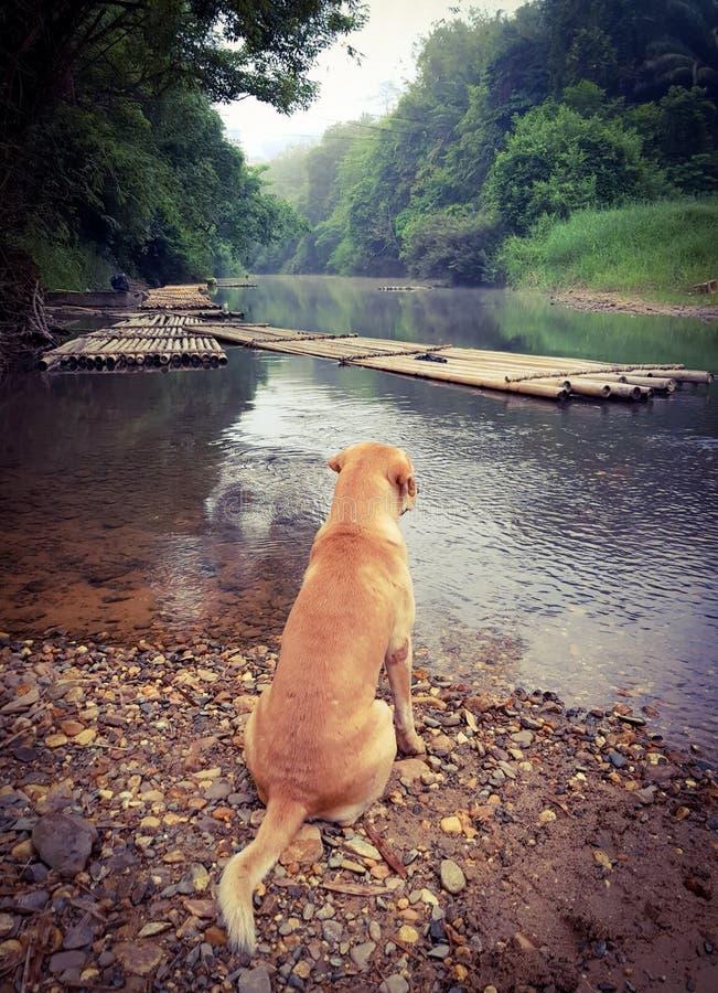 Dolden猎犬狗坐靠近河或湖在日出和morni 免版税库存照片
