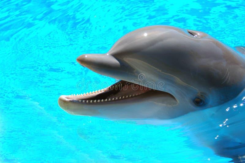 Dolfijn 5 van Bottlenose royalty-vrije stock afbeelding