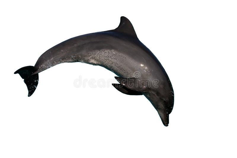 Dolfijn die bottlenose springt stock afbeelding