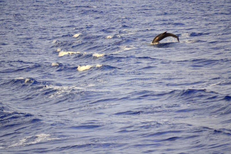 Dolfijn die in golven springen royalty-vrije stock fotografie