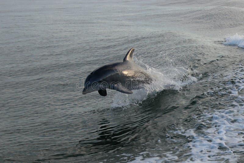 Dolfijn het springen stock afbeeldingen