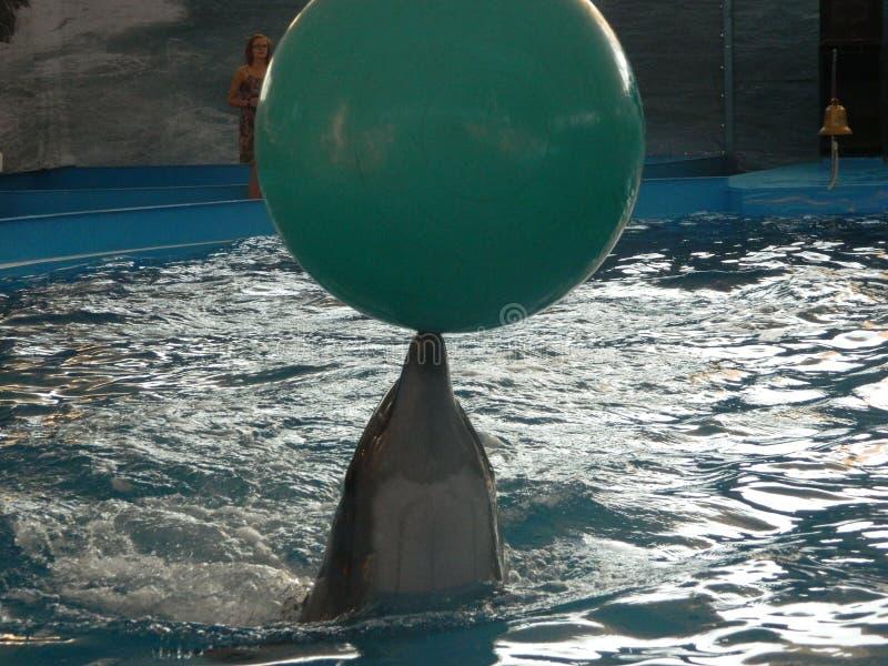 Dolfijn met een bal stock fotografie